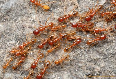 На фото: красные муравьи