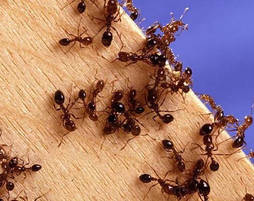На фото: рыжие муравьи
