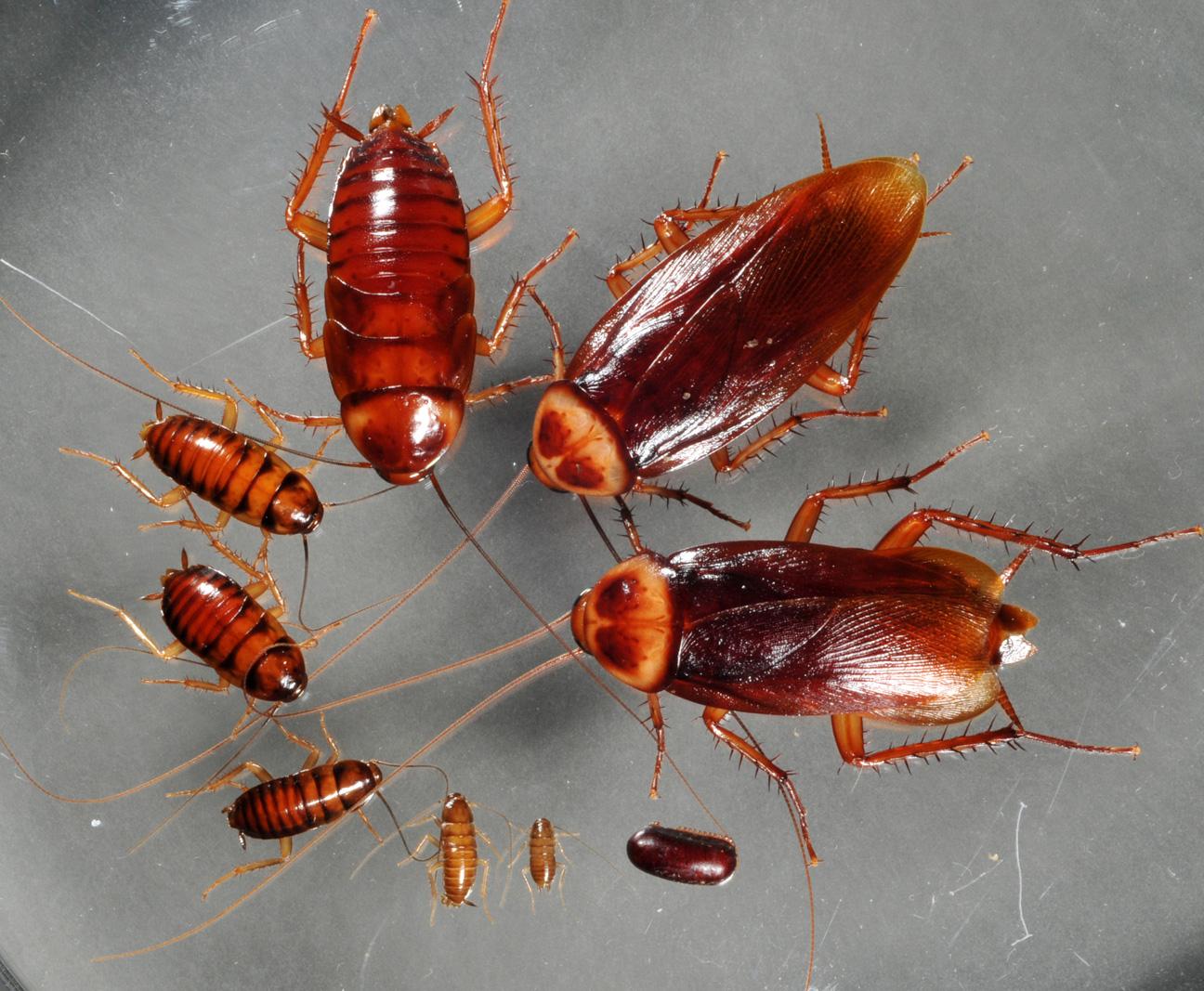 На фото: цикл развития таракана