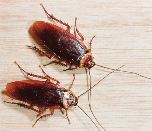 На фото: рыжие тараканы