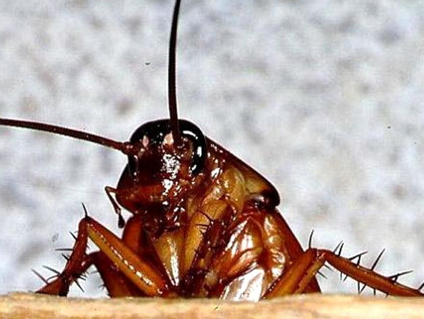 На фото: рыжий таракан