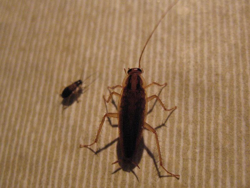 На фото: тараканы в квартире