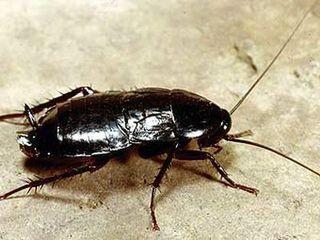 На фото: черный таракан