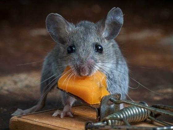 На фото: мышь
