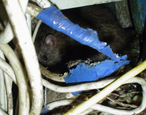 На фото: мышь в электропроводке