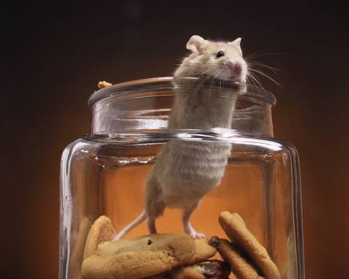 На фото: мышь в банке