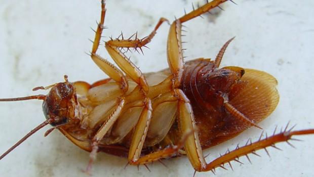 На фото: таракан