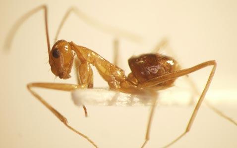 На фото: желтый муравей
