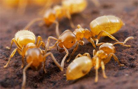На фото: желтые муравьи
