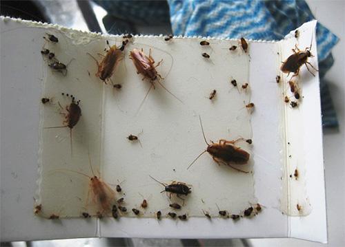 На фото: клеевая ловушка для тараканов
