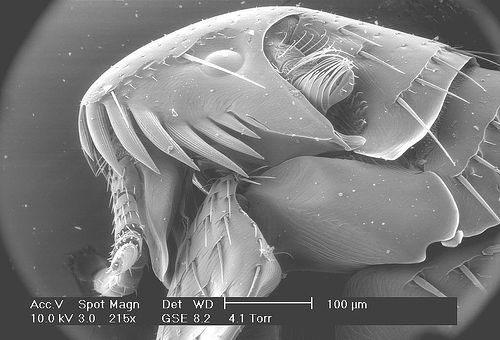 На фото: блоха под микроскопом
