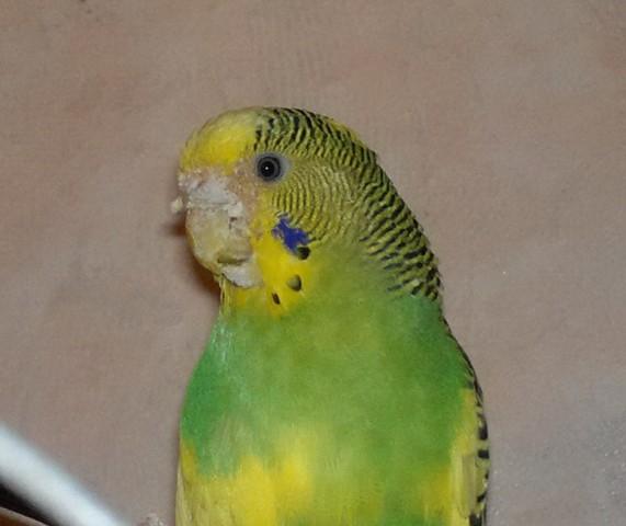 На фото: клещи у попугая