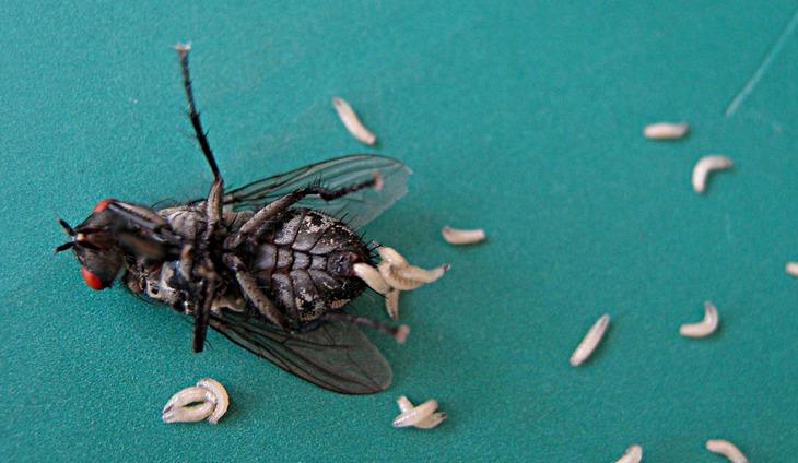 На фото: Личинки мух