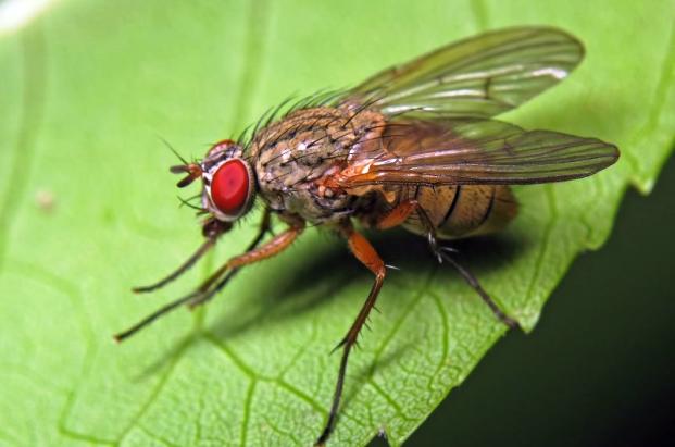 На фото: луковая муха