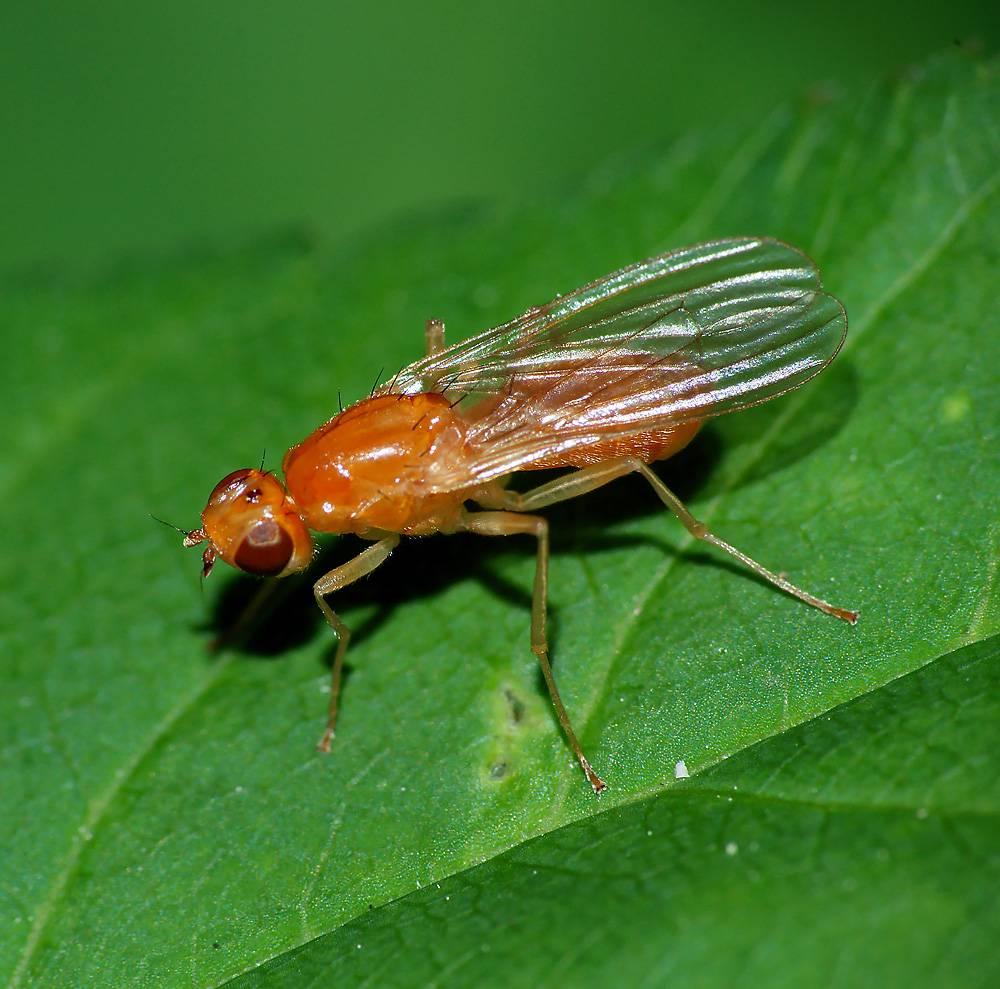 На фото: Морковная муха