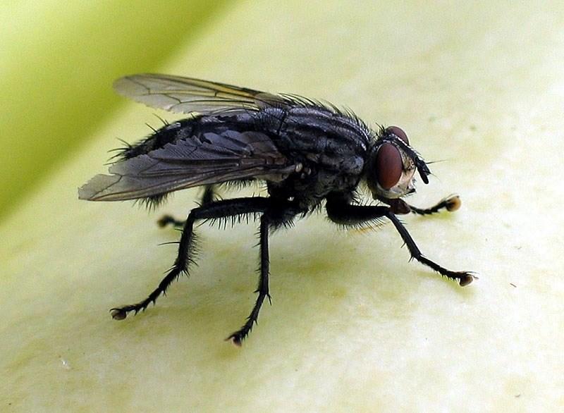 На фото: муха