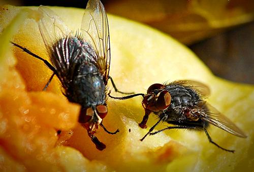 На фото: мухи