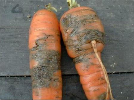 На фото: пораженная морковь
