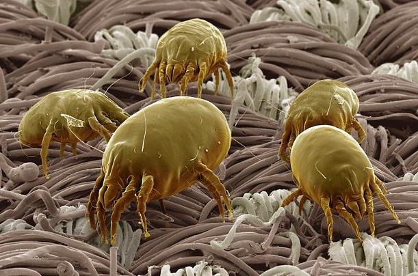 На фото: пылевой клещ