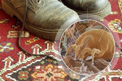 На фото: пылевые клещи
