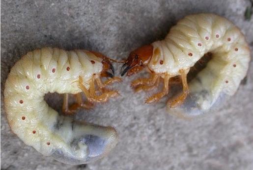 На фото: Личинка майского жука