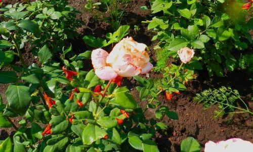 На фото: розы