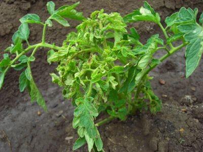 На фото: трипсы на помидорах