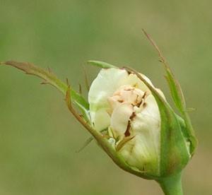 На фото: трипсы на розах