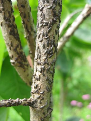 Изображена щитовка на дереве